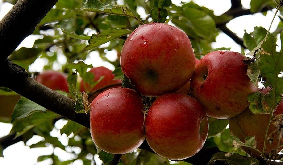 mere rosii calorii