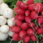 Ridichile rosii, albe si negre: 10 beneficii pentru sanatate