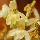 Planta Moringa sau Arborele Miracol contine peste 90 de nutrienti